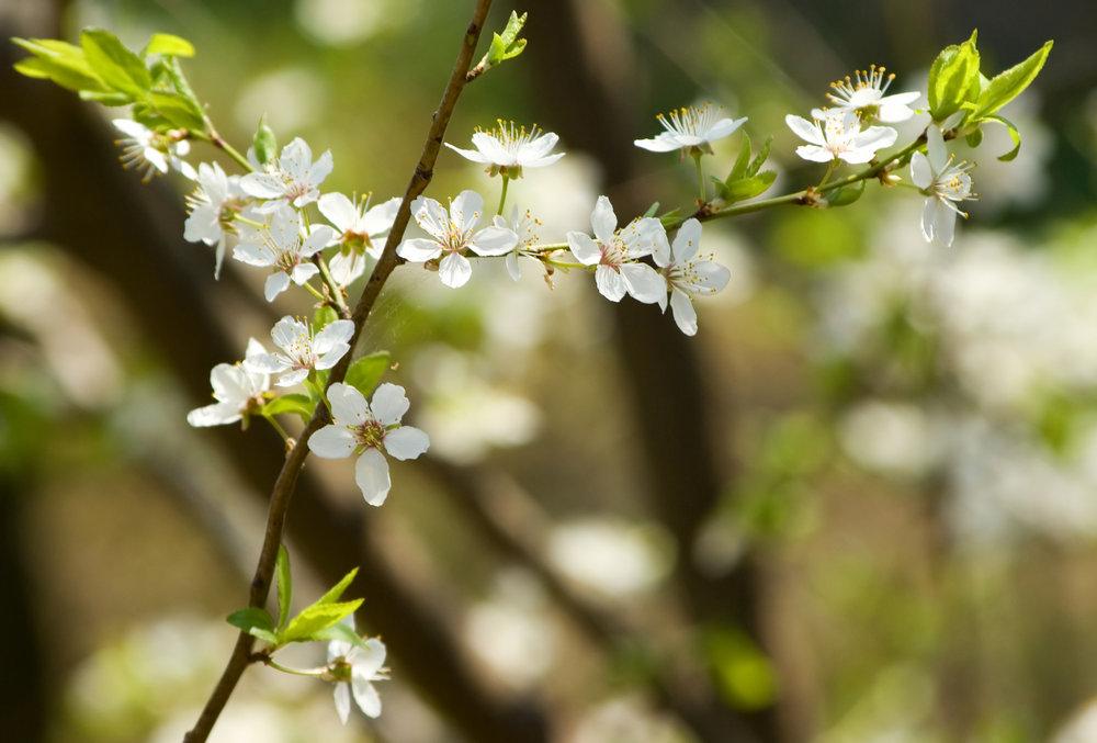 Sour cherry blossom