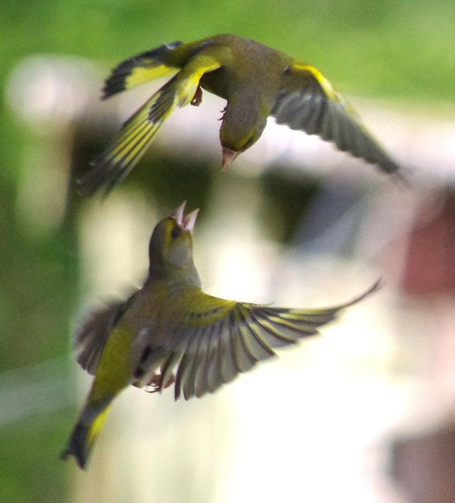 Greenfinch Tumble