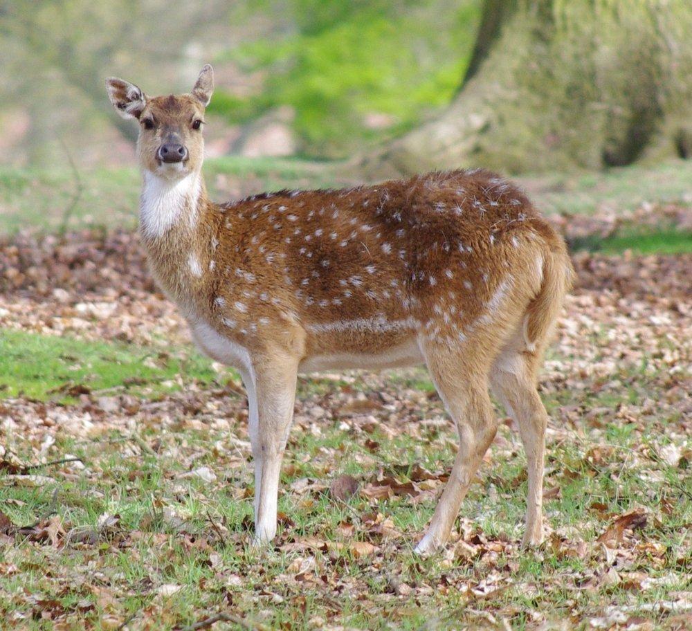 Houghton Deer
