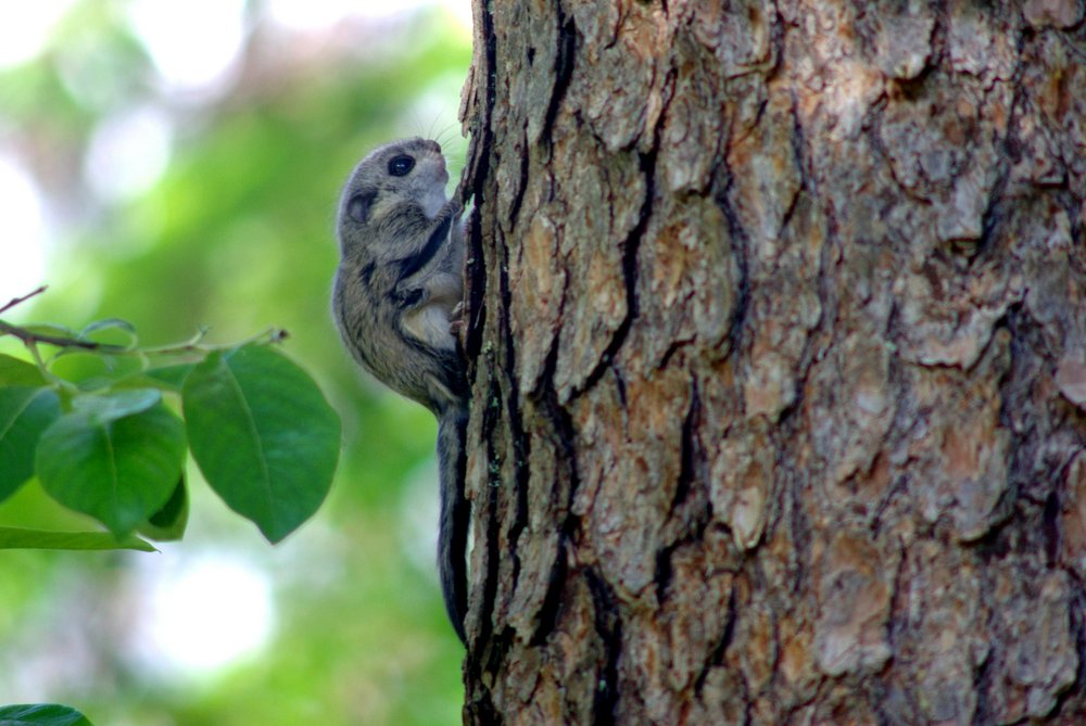 A juvenile flying squirrel