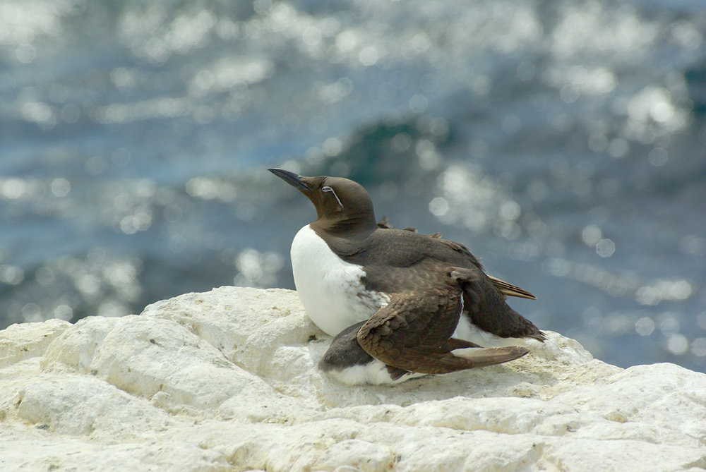 Bridled or Spectacled Guillemot Protecting Young