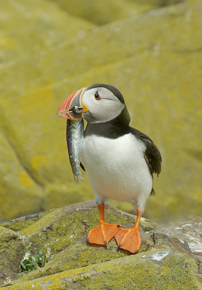 Puffin with large fish, Farne Islands, July 2010