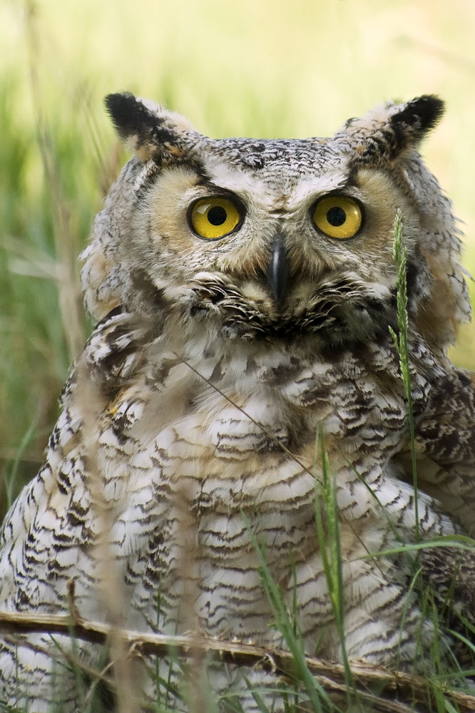 The Ornery Owl
