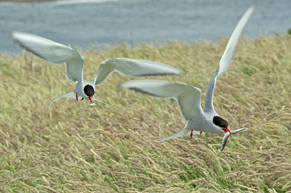 Arctic Terns with Sand Eels, Farne Islands
