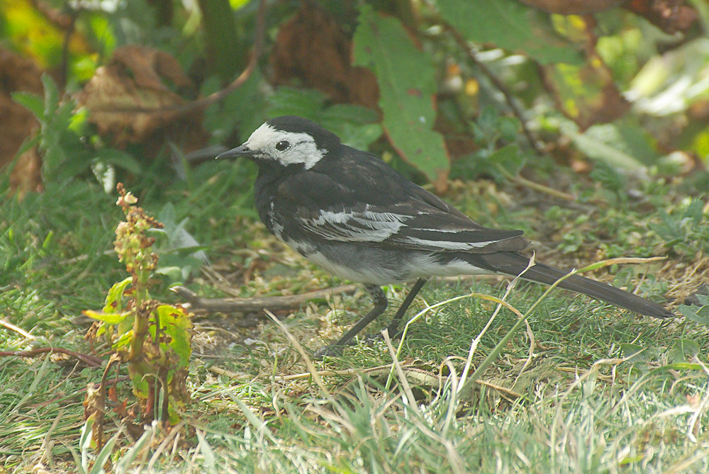 Pied Wagtail on Inner Farne Island