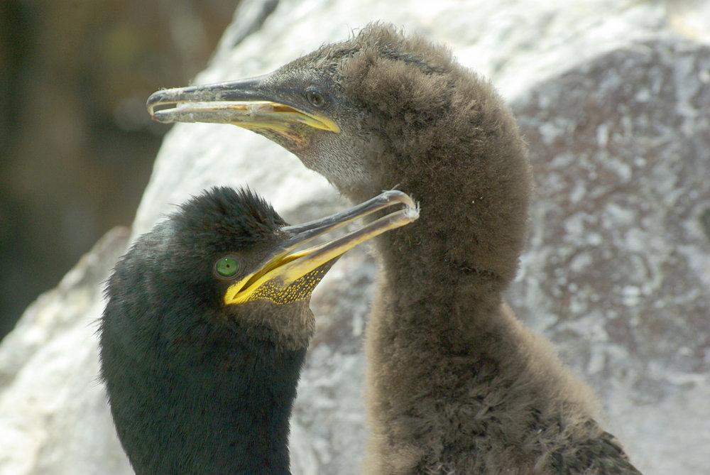 Shag with chick, Inner Farne Island