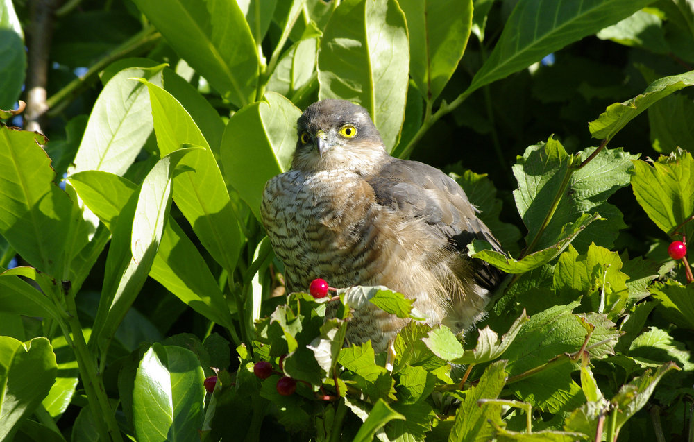 Sparrowhawk Looking for Breakfast