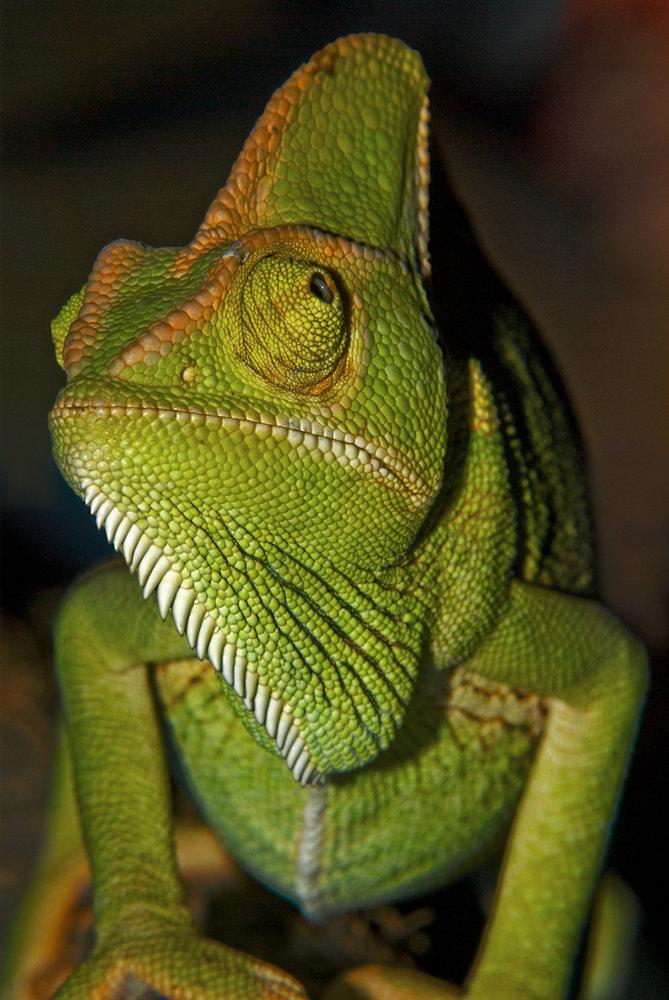 Chameleon - not Iguana!