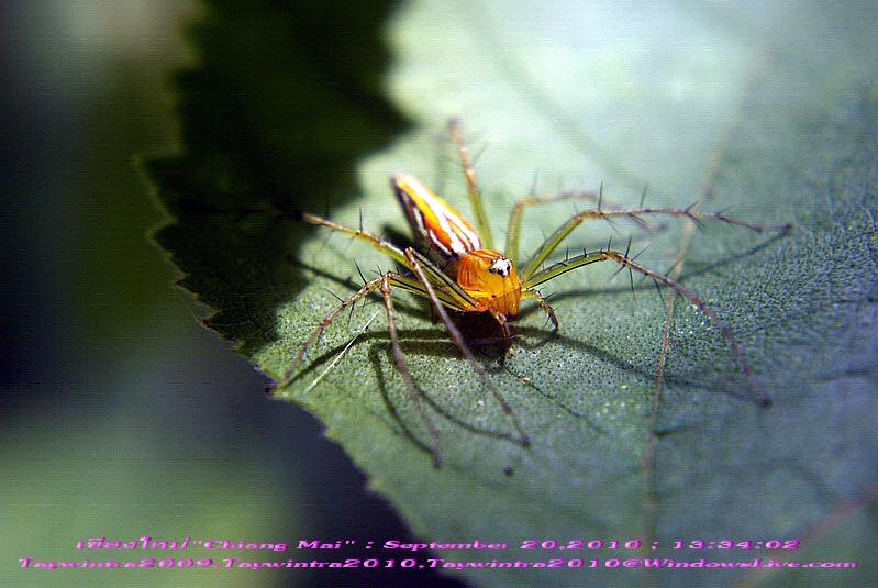 Spider Chiang Mai Thailand September 20,2010