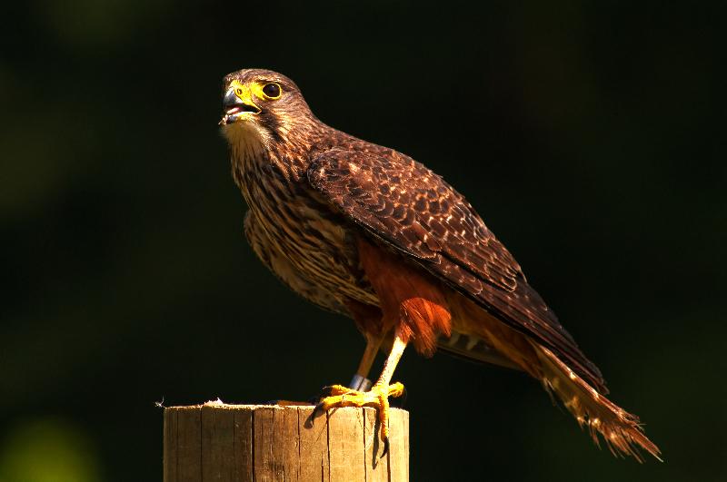 Native New Zealand Falcon
