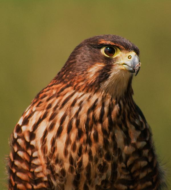 Rare New Zealand Falcon