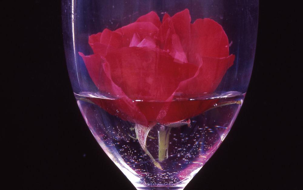 Rose by John Digby