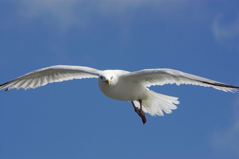 A Padstow Gull