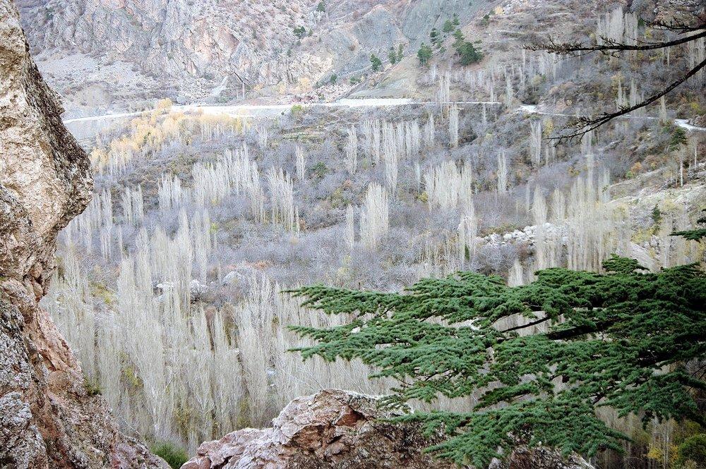 Poplars of the Valley