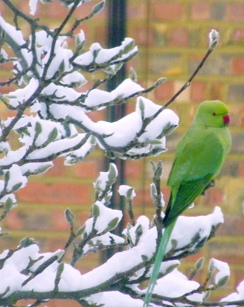 Parrot in the snow