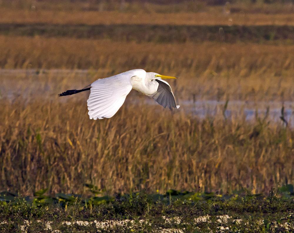 Egret Over Grass