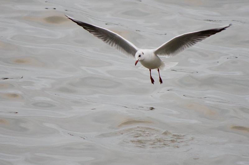 Gull. River Blyth