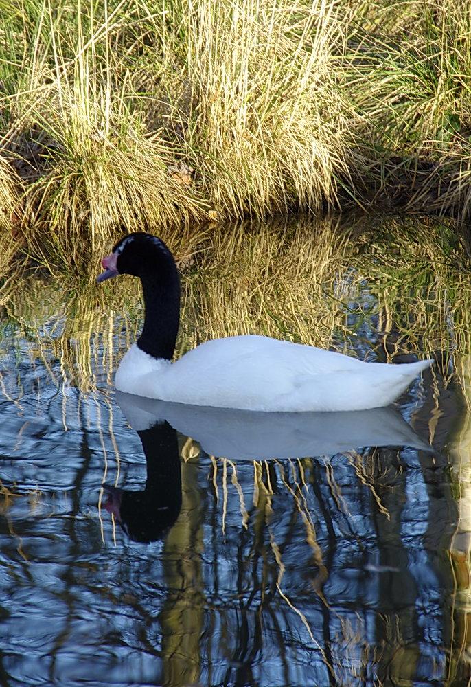 Electric swan