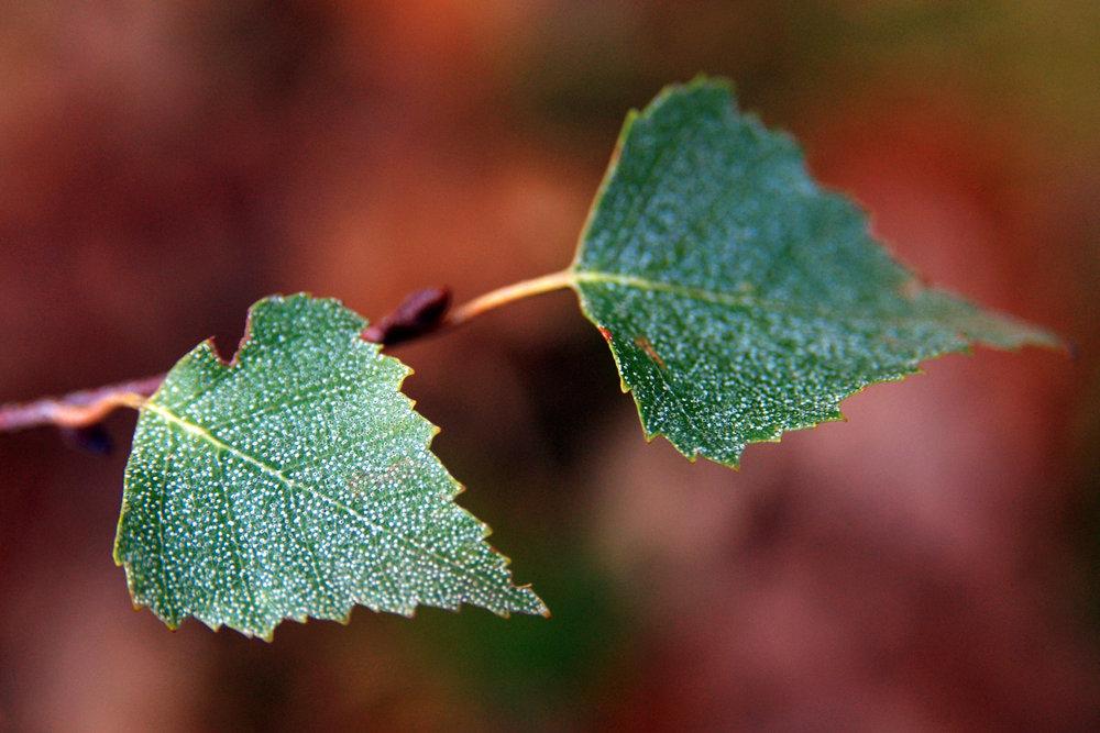 Epping Forest Birch