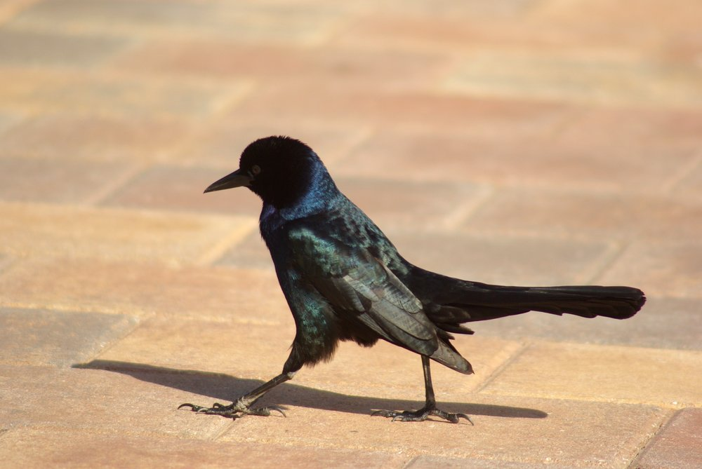 A determined Boat-tailed Grackle