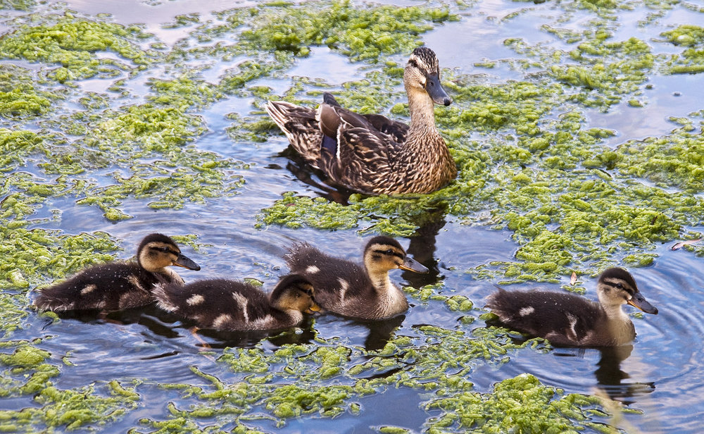 Four Little Ducklings Swimming.....