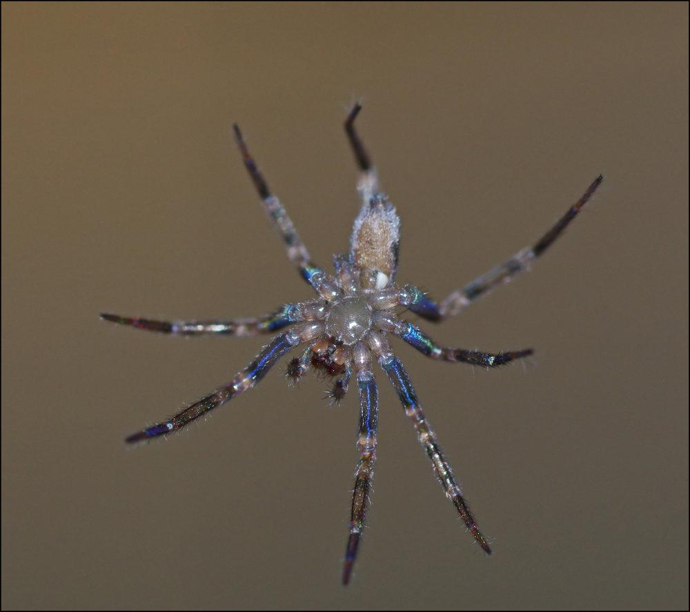 Kitchen Spider