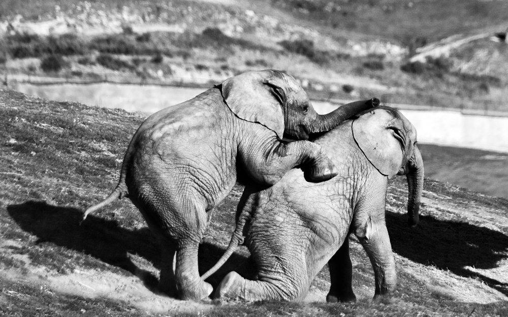 Baby Elephants playing around