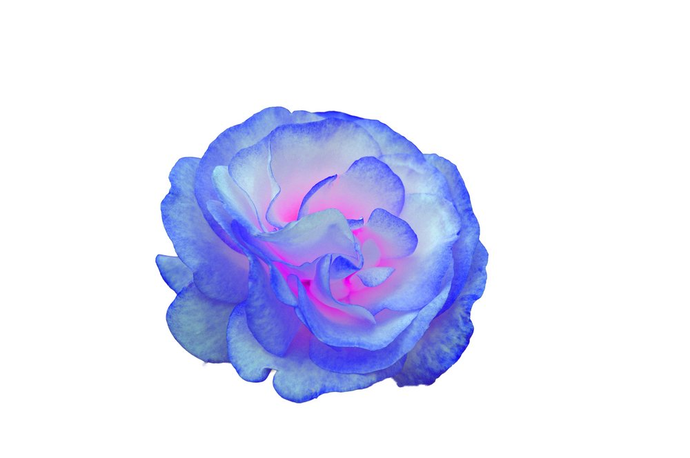 Blue Rose via PSE magic