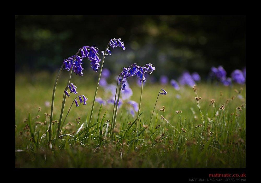 Bluebells + Grass