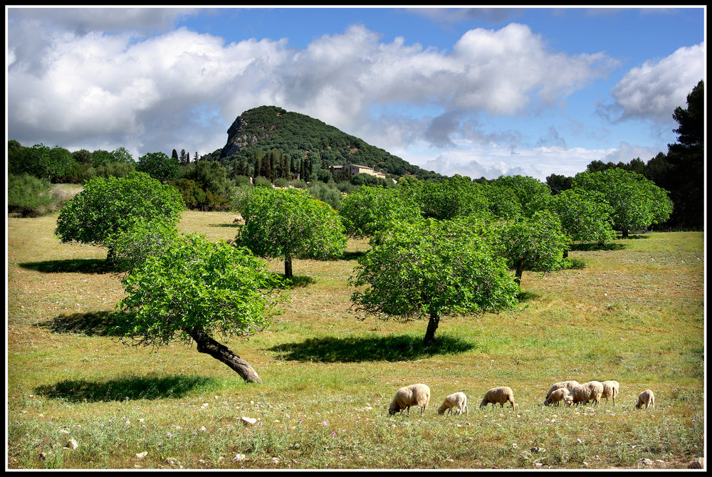 Sheep Grazing in a Majorcan Landscape