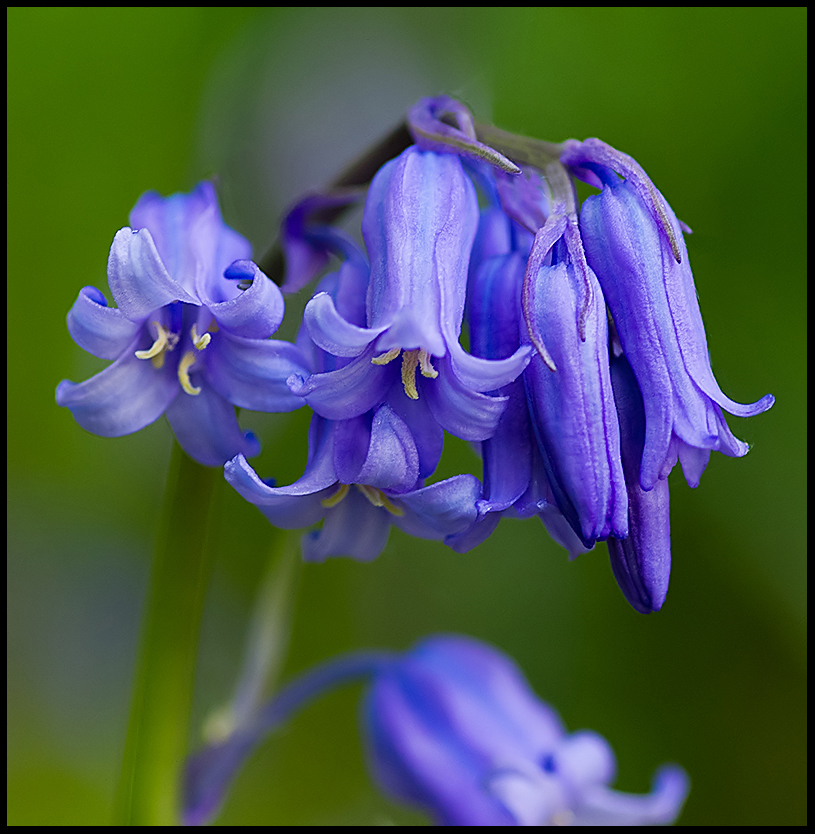 Some more Bluebells