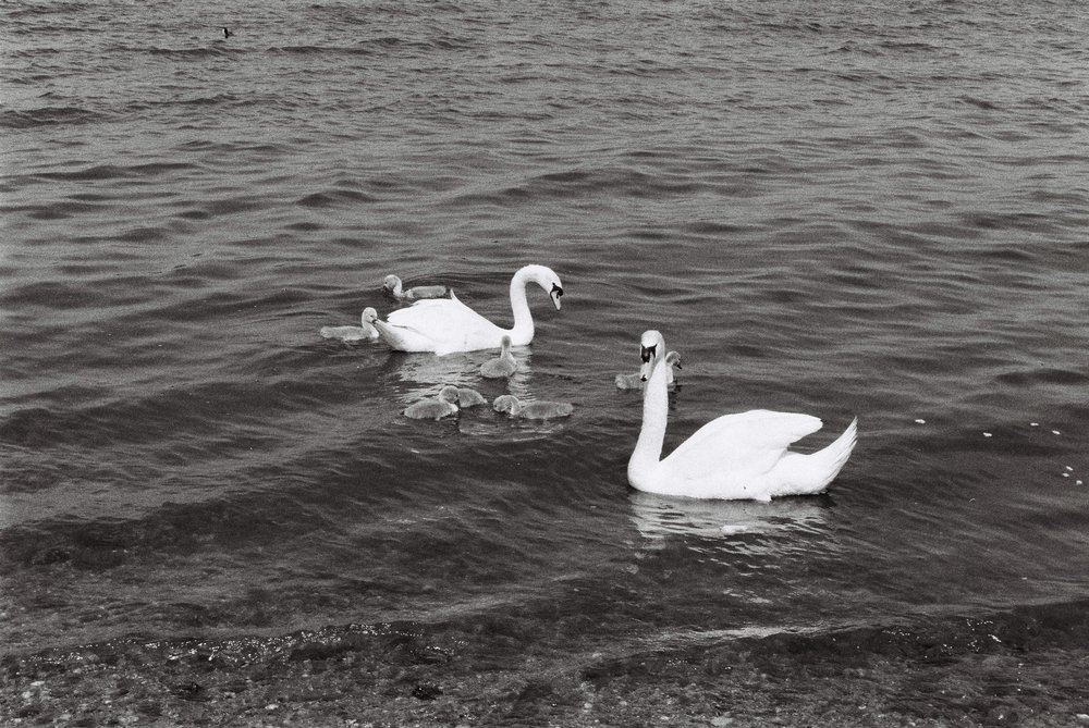 Swans - Chasewater