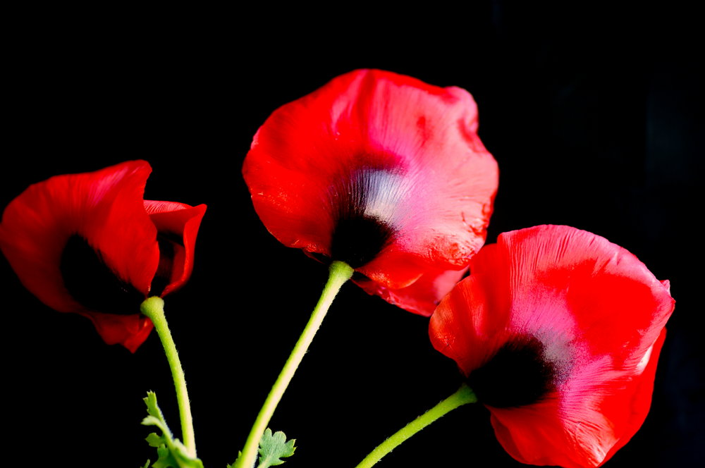 Time for Poppies
