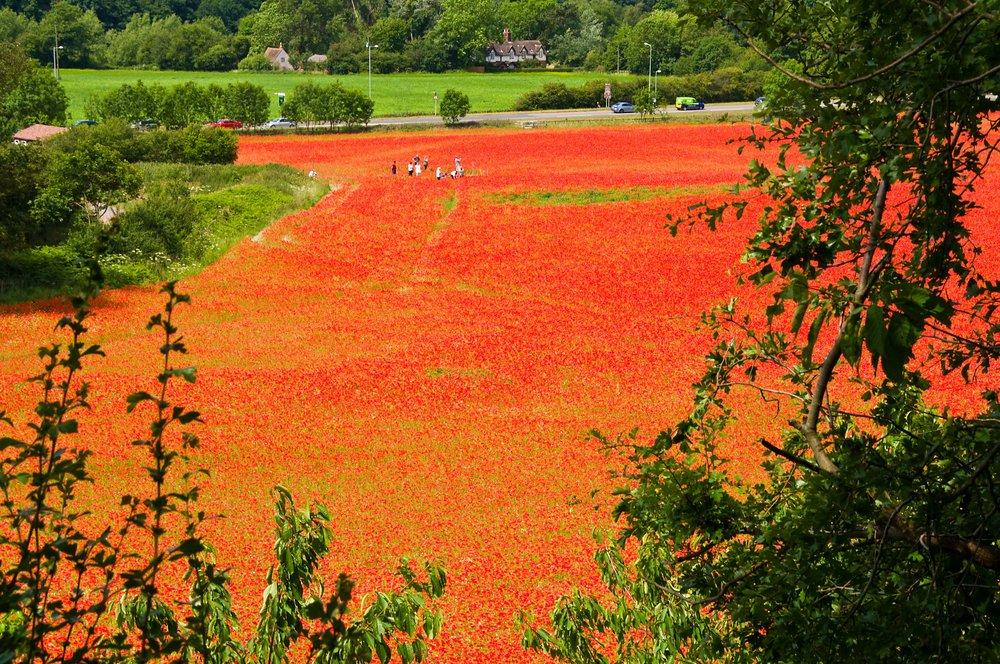 Bewdley Poppy field
