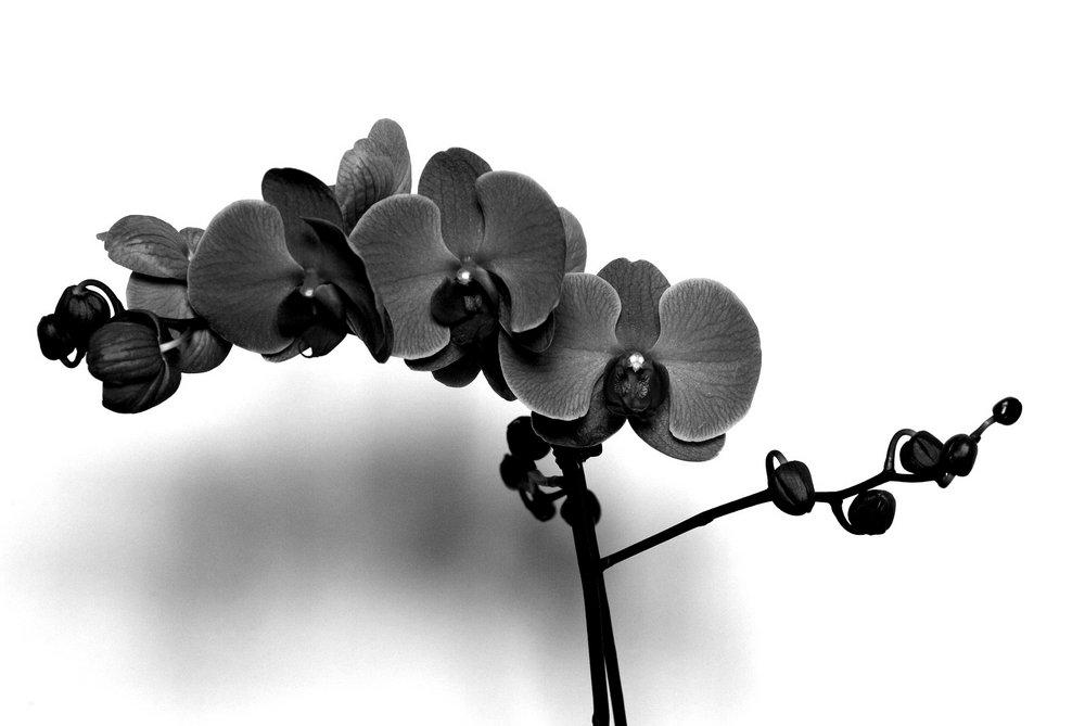 Black Orchid!