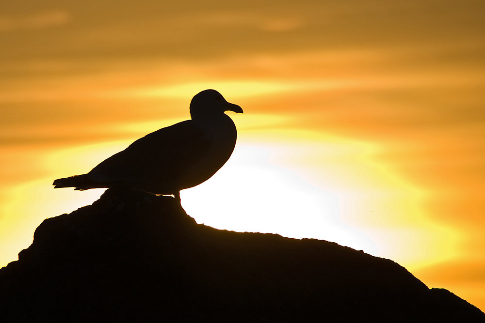 Gull with sunset silhouette