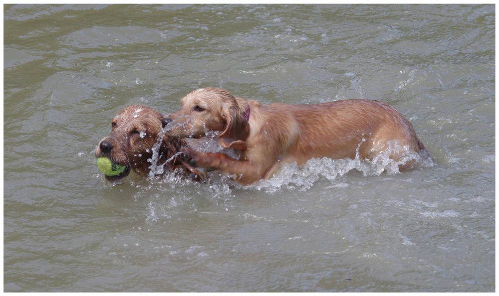 Happiness is a wet gundog