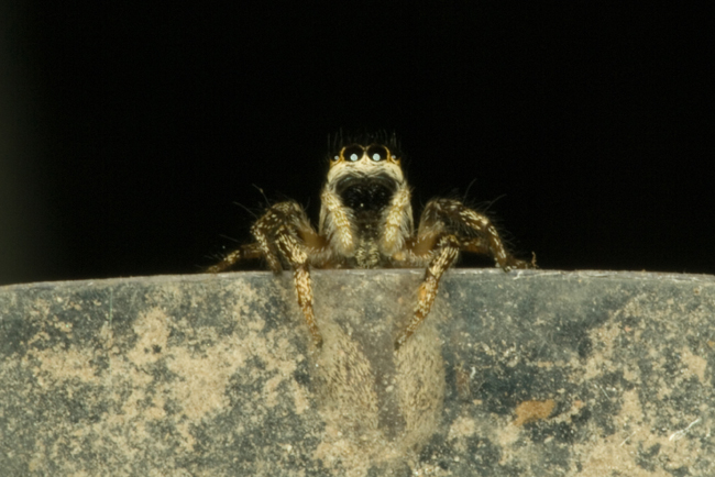Jumping Spider Posing as Chad