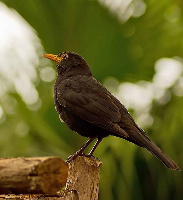 Madeiran Blackbird, male