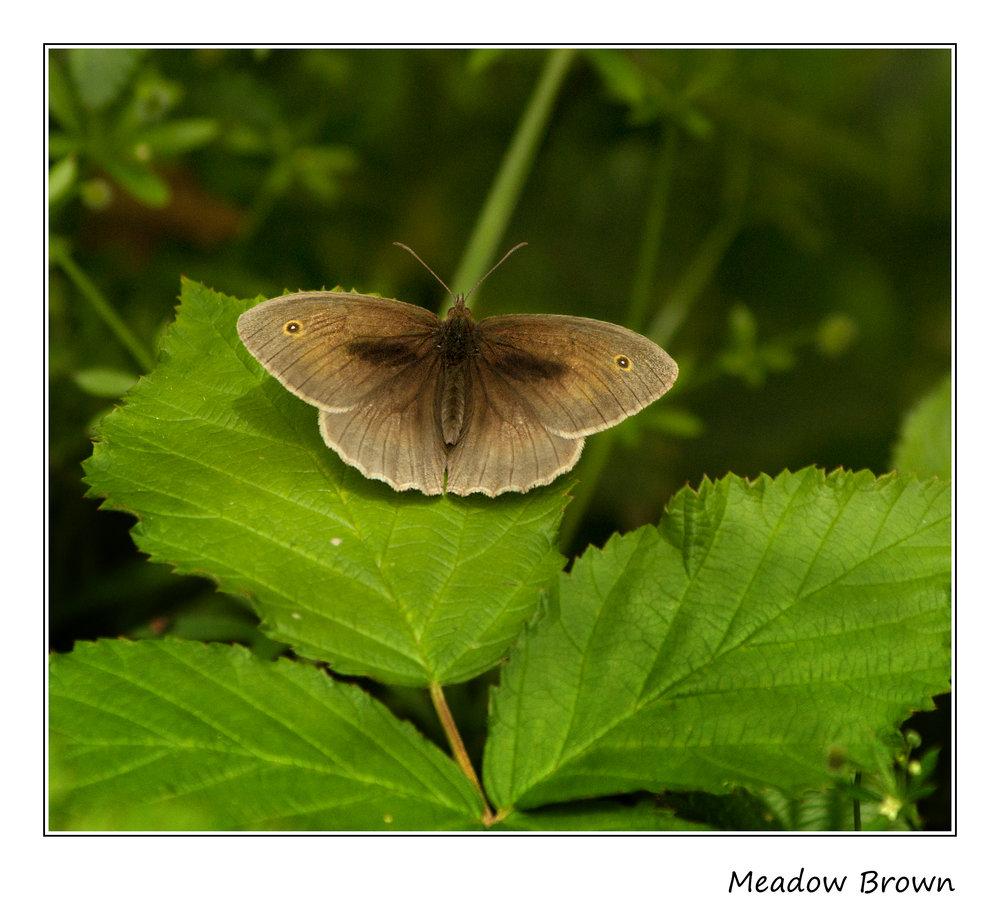 Meadow Brown (male)