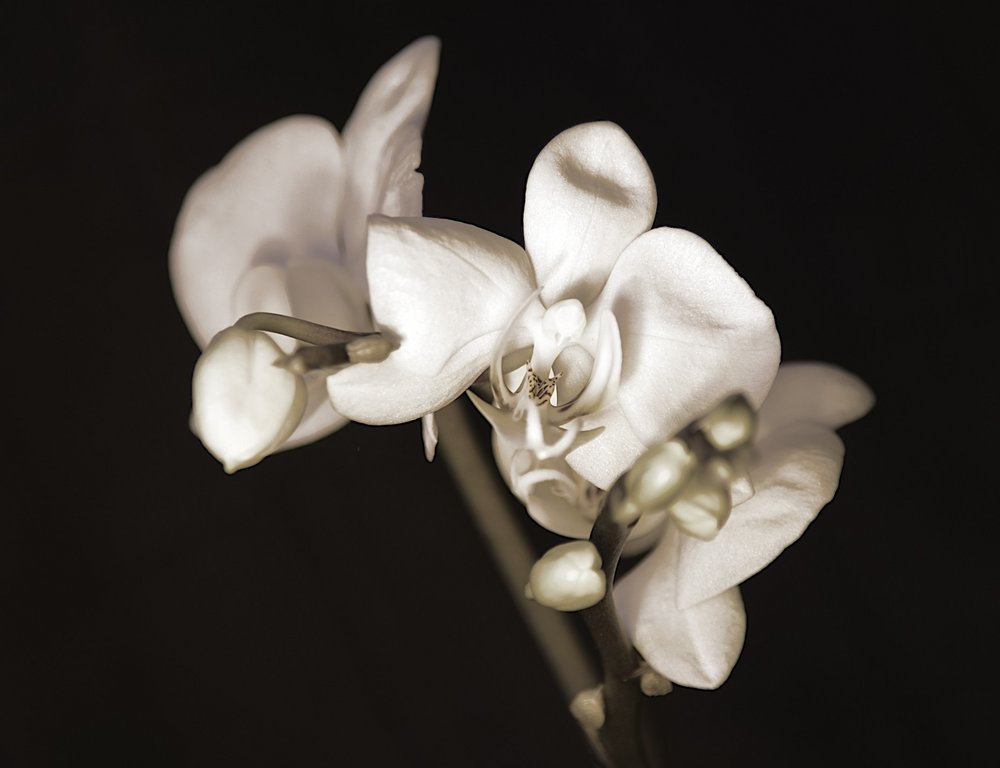 Orchid in mono