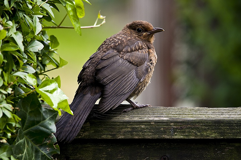 Young Blackbird - Sigma 150-500mm