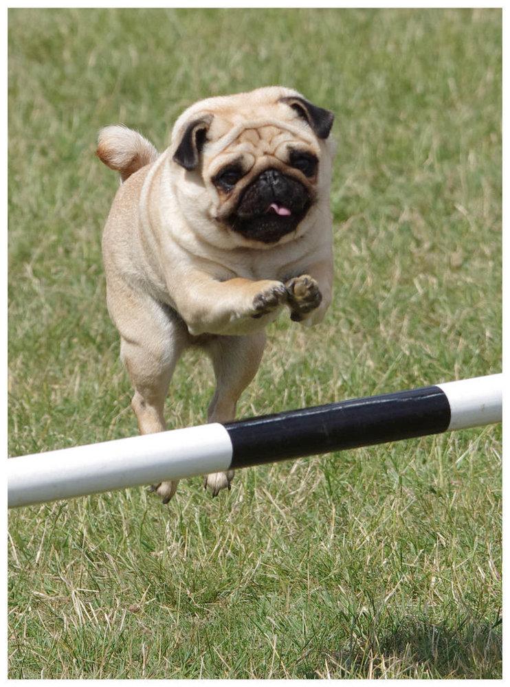 Jumping Pug