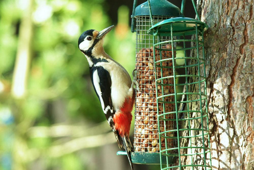 Lady Woodpecker