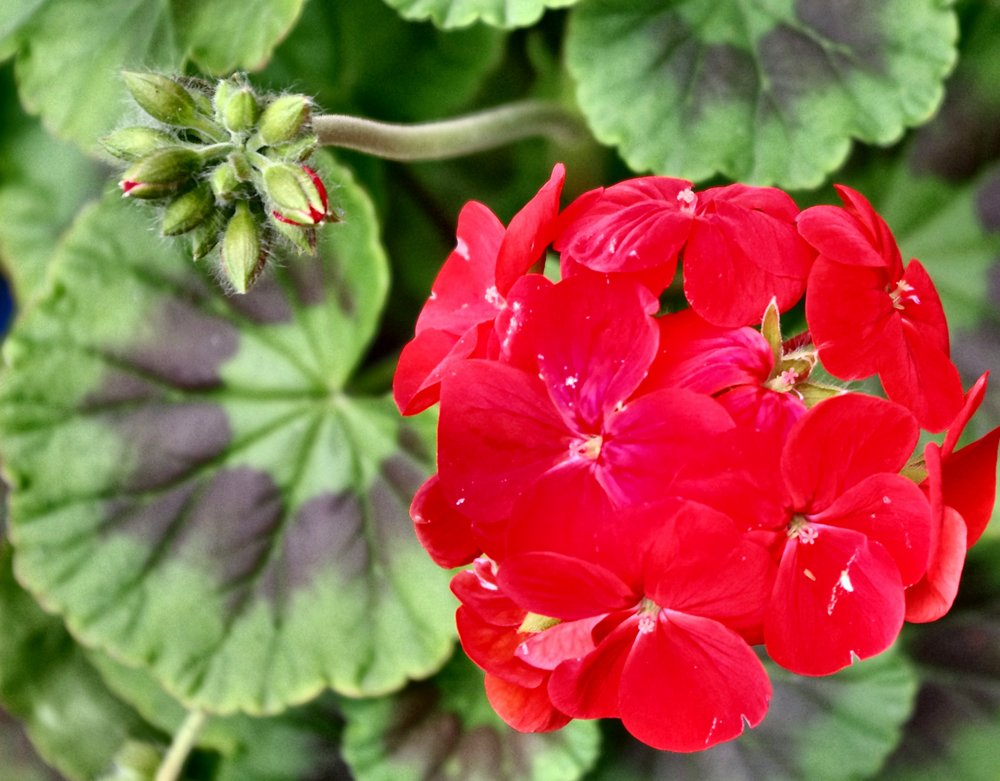 Red garden geranium and leaves