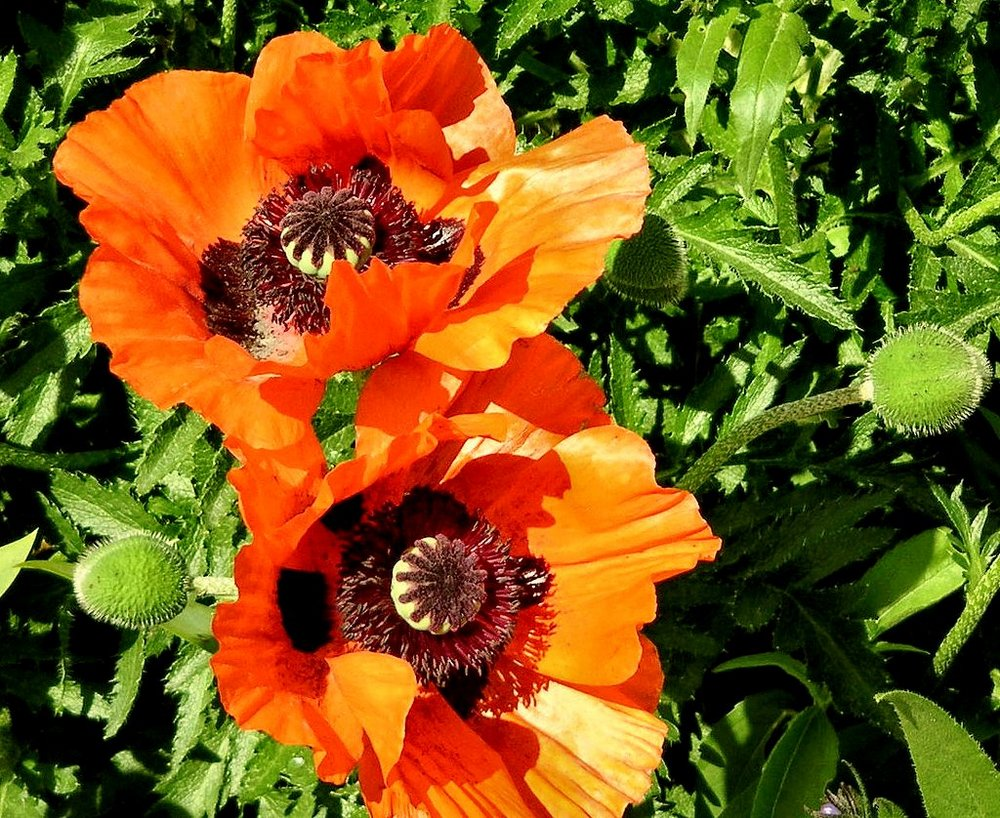 Large poppies and leaves.