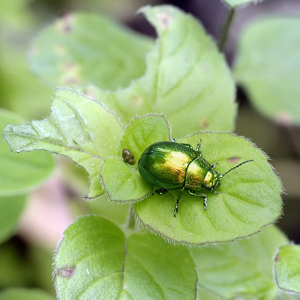 Mint beetle (Chrysolina menthastri)