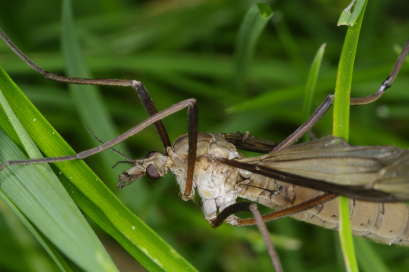 Crane-fly (Daddy-long-legs) in the grass