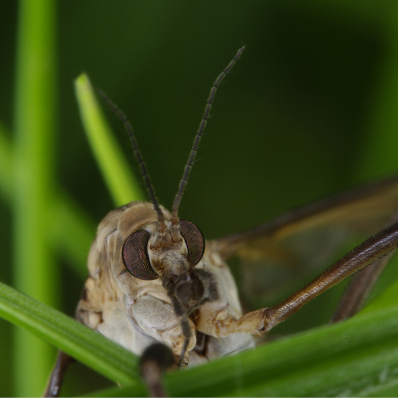 Face To Face with Daddy-long-legs in the grass