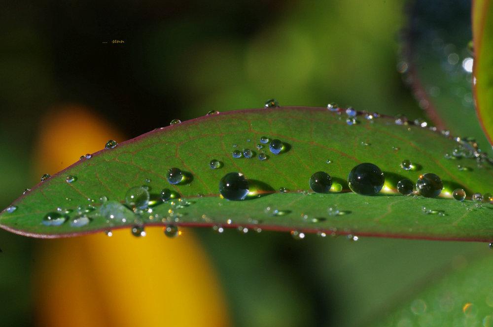dews ..